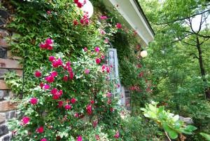 壁面を飾るバラ、見頃です。