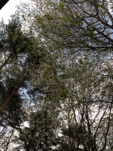 山桜も満開に